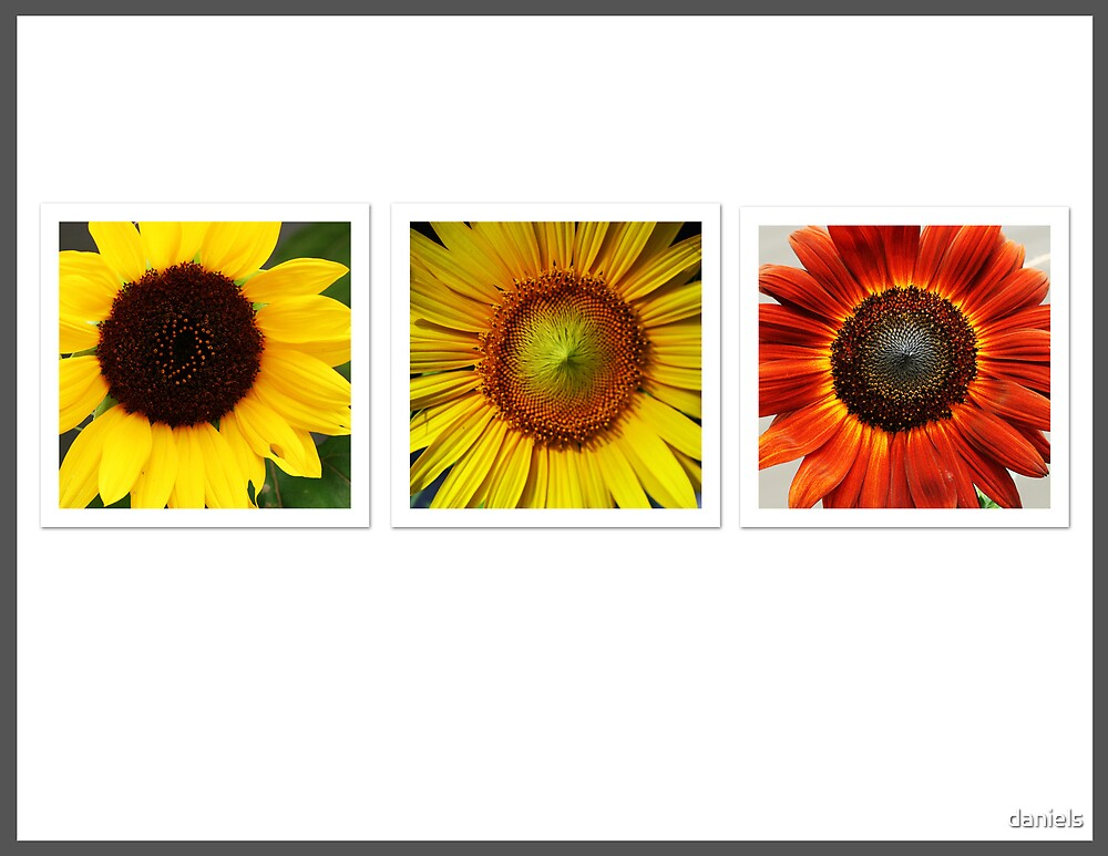 cycle of the sunflower by daniels