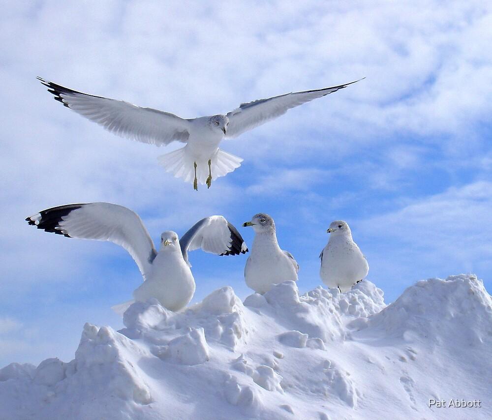 Arctic Gulls by Pat Abbott