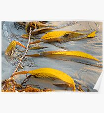 Golden Seaweed and Sunset.  Bacara Beach, Goleta, California Poster