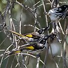 Family of New Holland Honey Eaters, Kardinya, W.A. by Sandra Chung