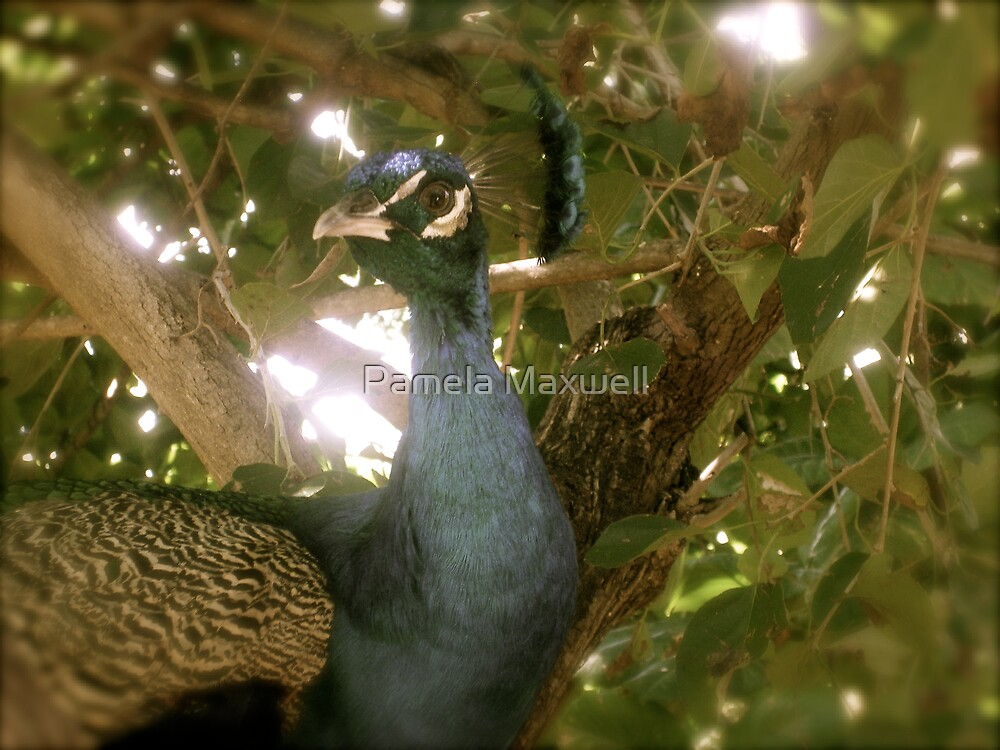 Pretty Peacock by Pamela Maxwell