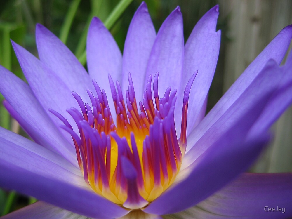 Water lily by CeeJay
