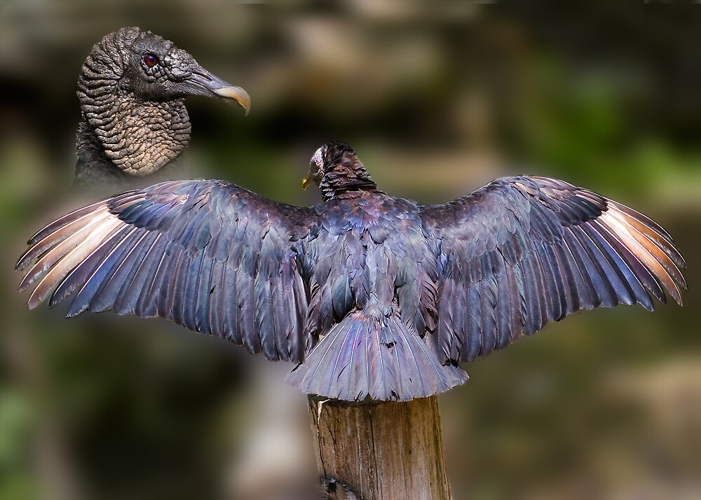 Black Vulture With Spread Wings by Delores Knowles