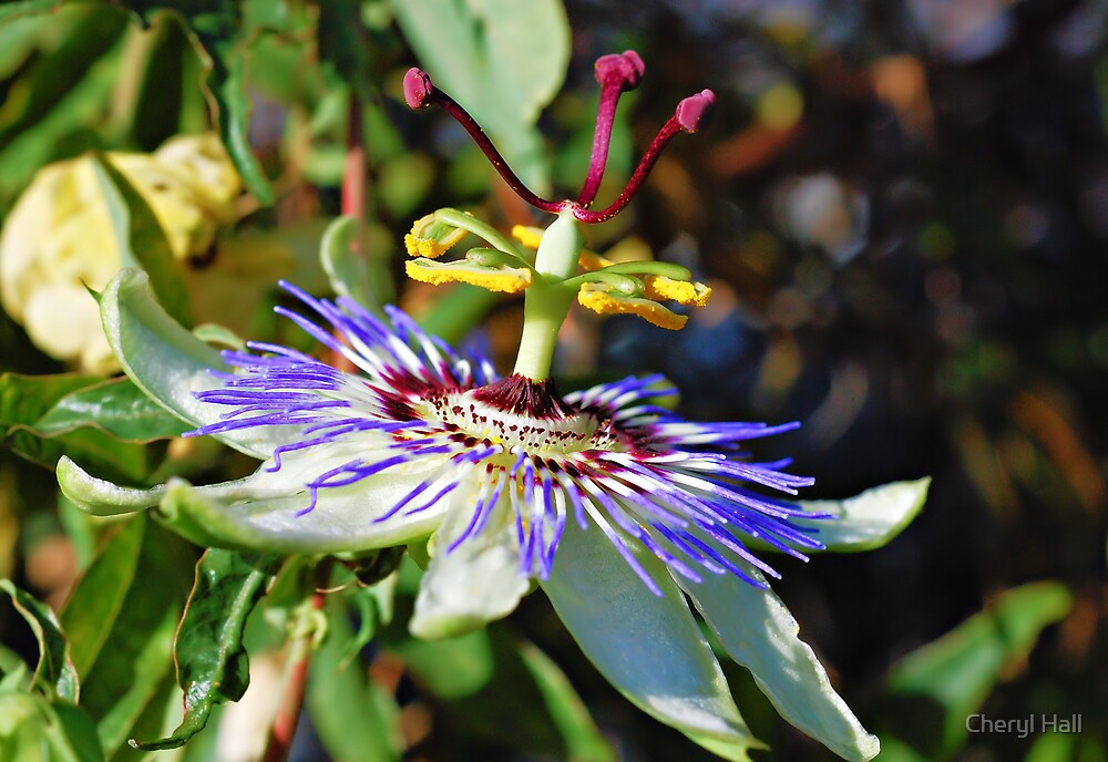 Passion Flower 4 by Cheryl Hall