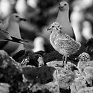 Ring-billed gulls 2016-1 by Thomas Young