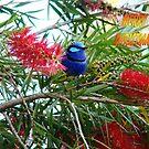 Blue Wren Merry Christmas by Coralie Plozza
