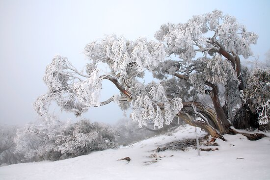 Snowbound Snowgum, Mt Feathertop, Australia by Michael Boniwell