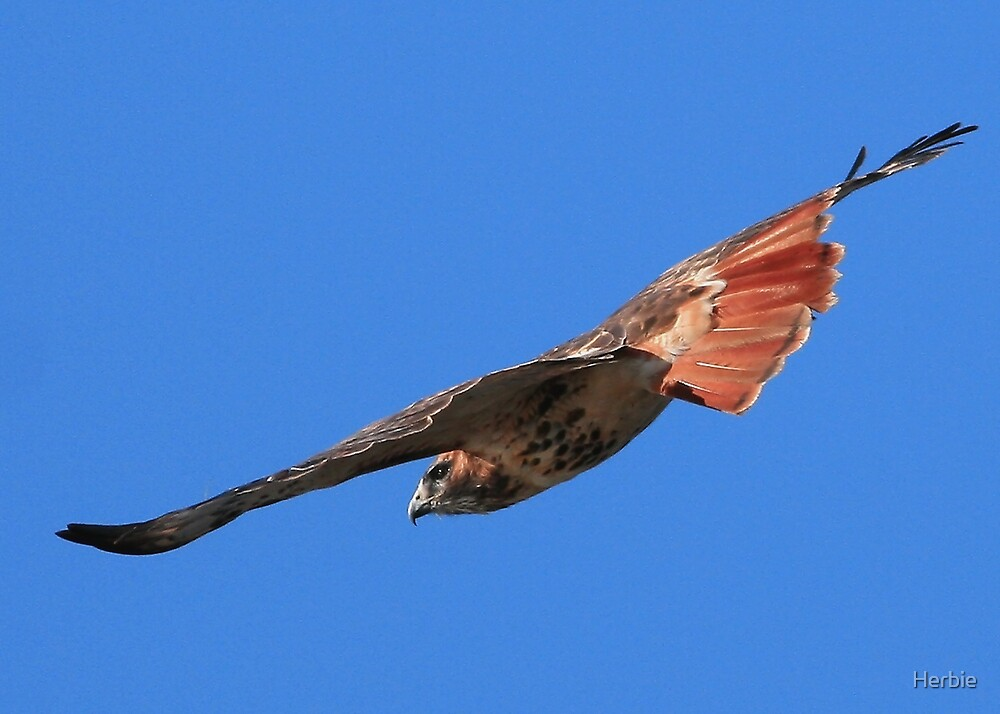 Flying Red Tailed Hawk by Herbie
