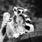 Ring tailed lemur  by cs-cookie