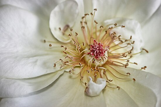 Rose by Cathie Tranent