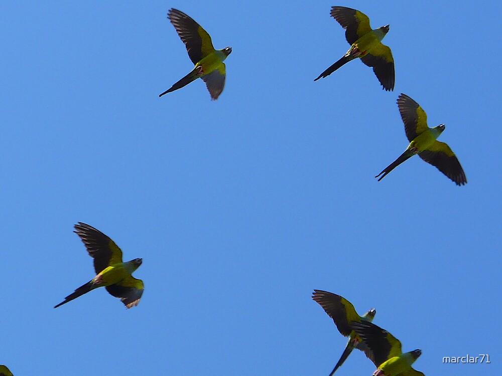 St Pete's Wild Parrots by marclar71