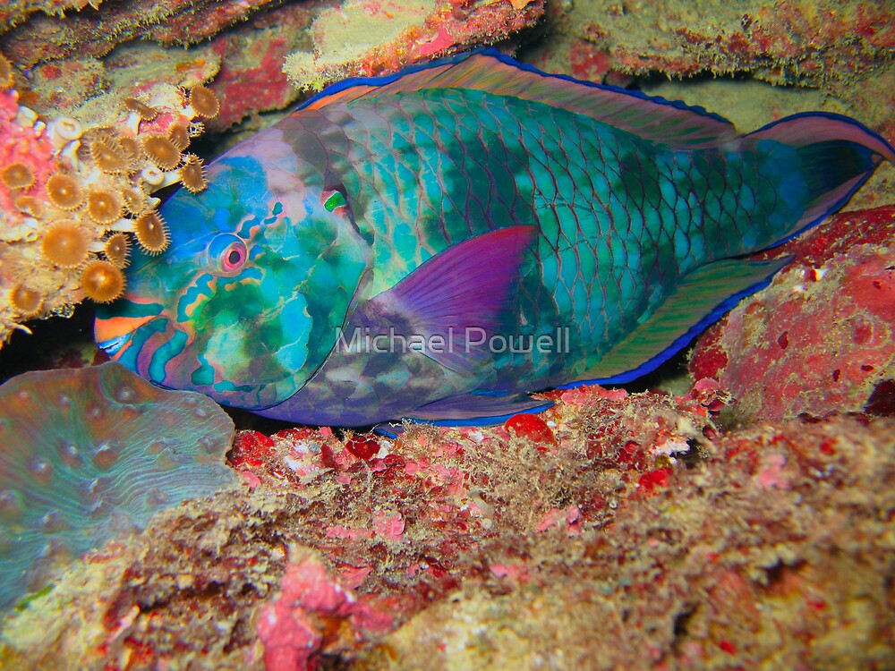 Sleepy Parrot Fish by Michael Powell