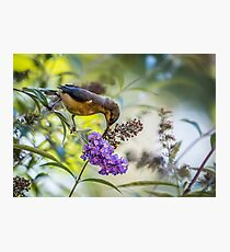 Eastern Spinebill with Buddleja Photographic Print
