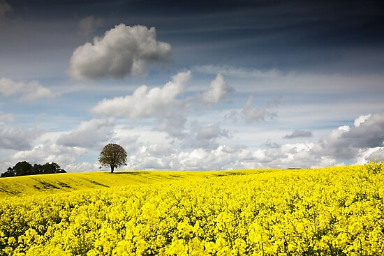Oilseed Rape Field and Lone Tree by Heidi Stewart