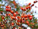 Crab Apples at JFK memorial park, Co Wexford, Ireland by David Carton