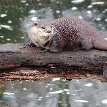 Otter on a log by MrIanP