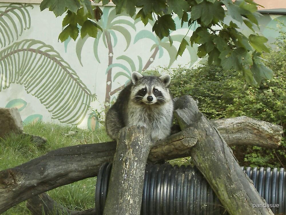 racoon by pandasue