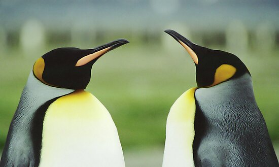 King Penguins by Steve Bulford