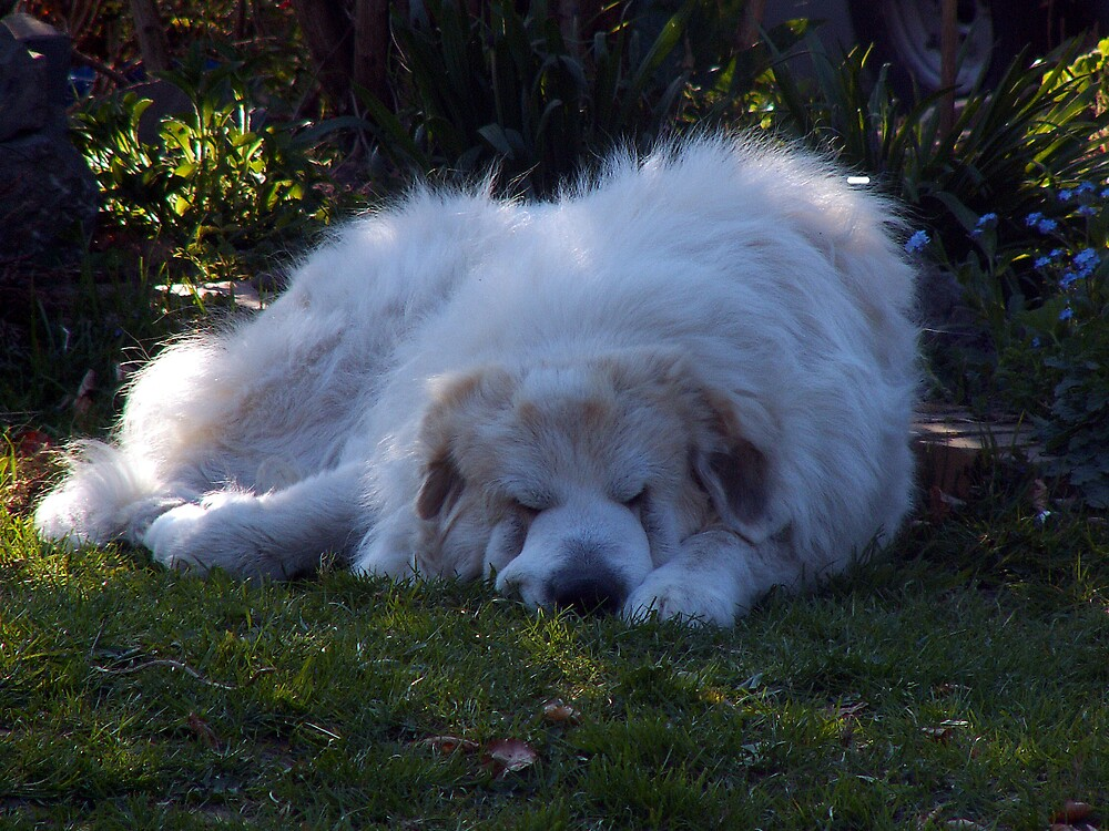 Zapp the pyrenian mountain dog napping by TE4SE
