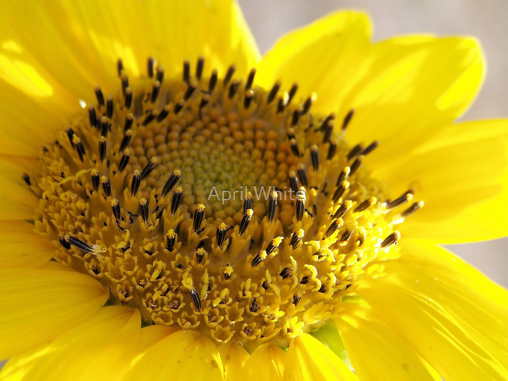 Macro Sunflower by xPressiveImages