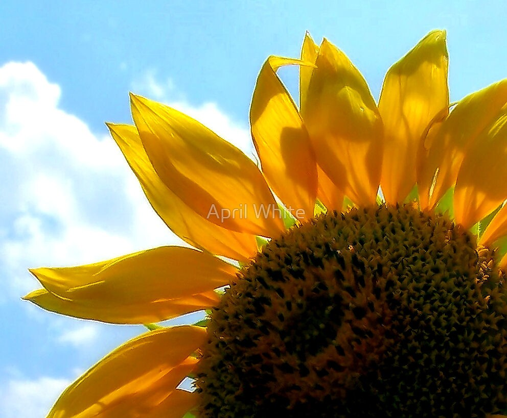 Sunflower by xPressiveImages