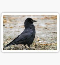 Angry Crow Sticker