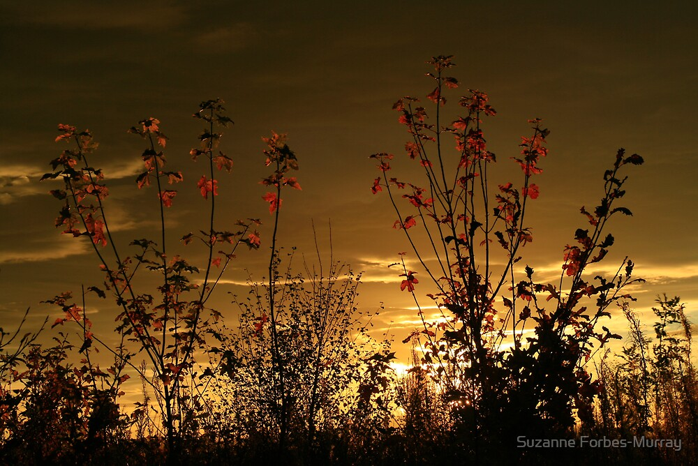 Trees light by evening sun. by Suzanne Forbes-Murray