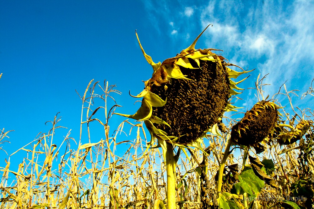 Sunflowers by Jean-François Dupuis