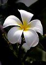 White Frangipani by Dave Lloyd