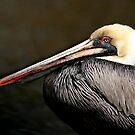 Brown Pelican by Jonicool