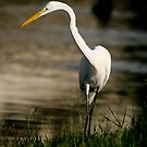 Great Egret by Jonicool