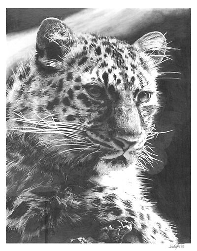 Leopard Pencil Drawing by onlypencil