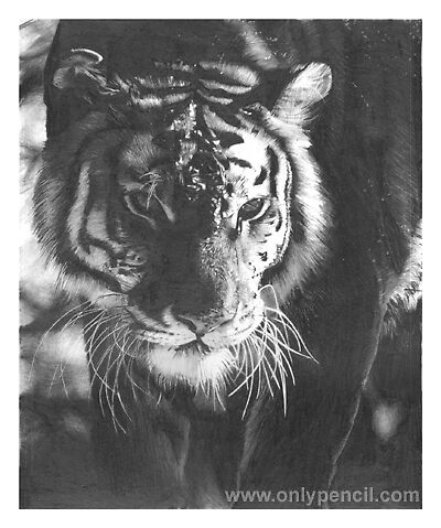 Tiger Pencil Drawing by onlypencil