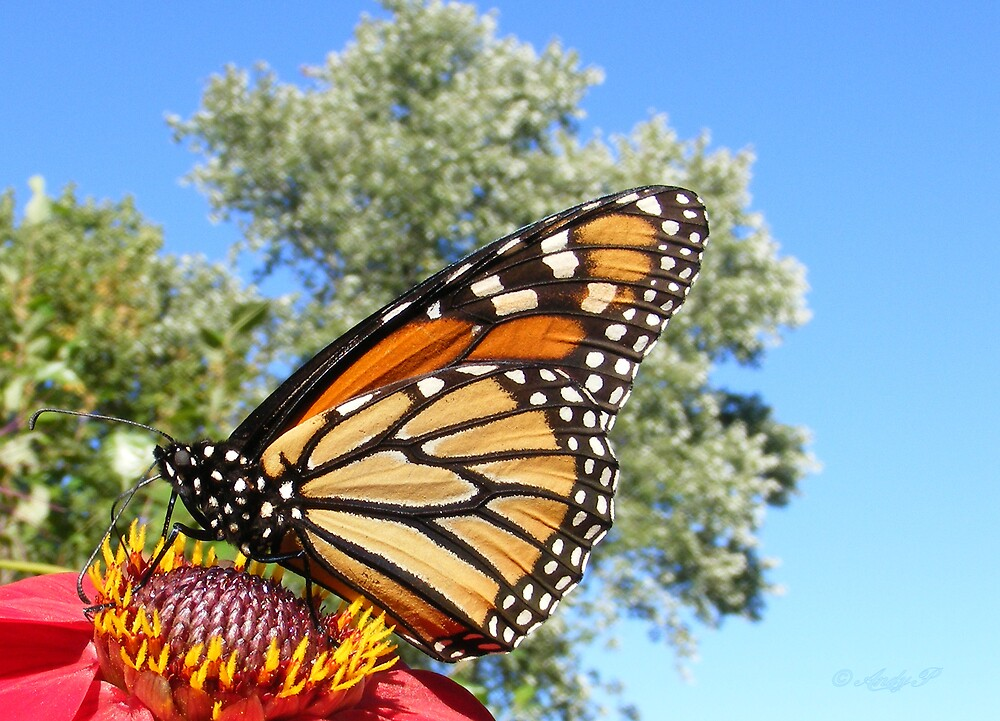 Monarch by Andy2302