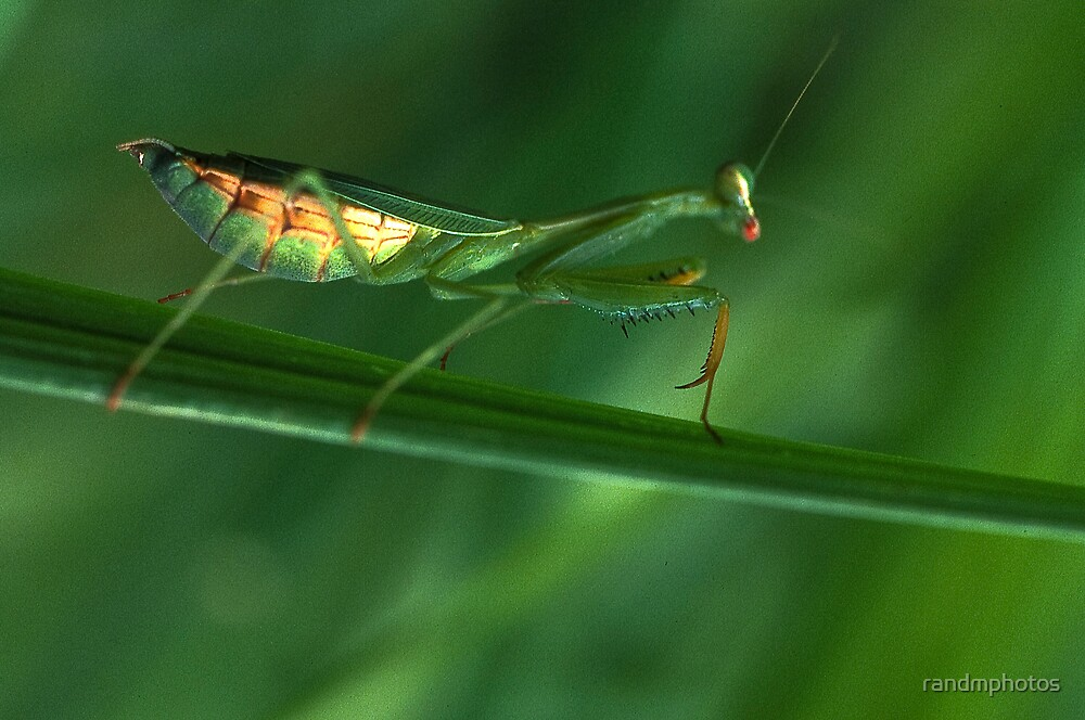 Mantis On The Move by randmphotos