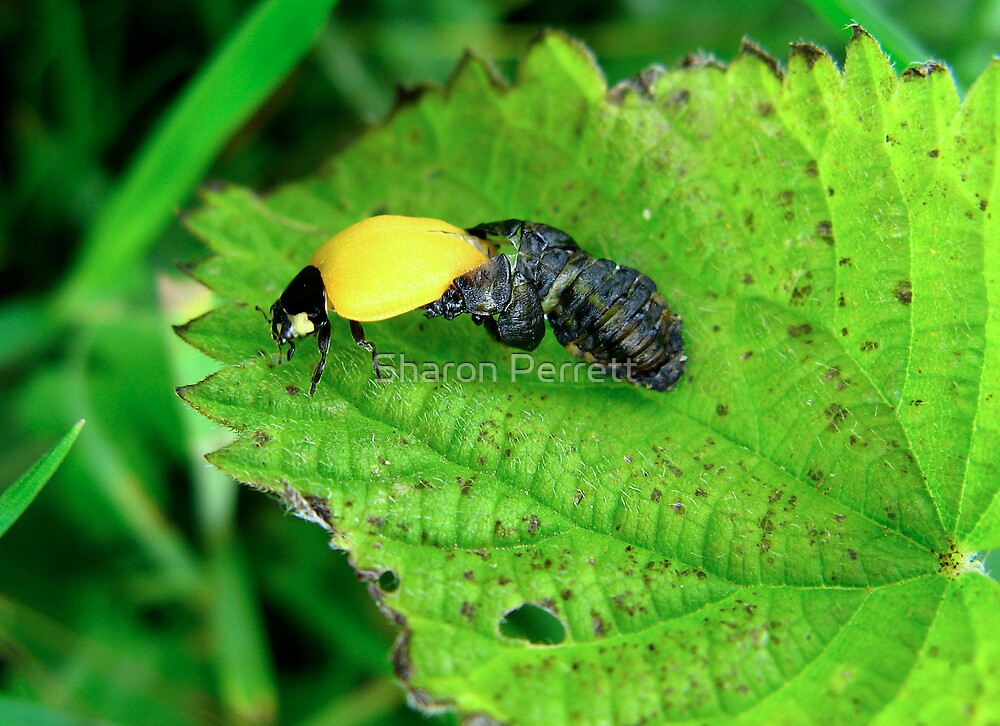 The Ladybird Emerges by Sharon Perrett
