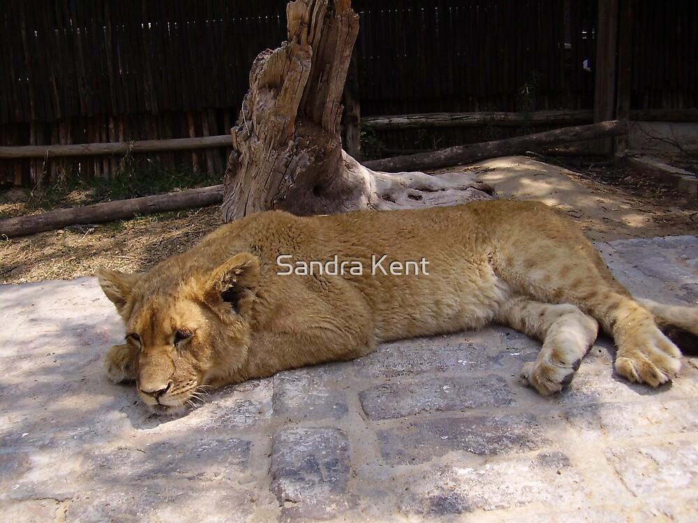 Lion Cub by Sandra Kent