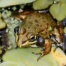 Frog Having a Lot to Say by AnnDixon