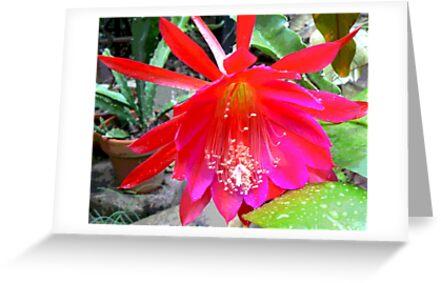 Cactus Flower Early Morning Rain drops 2 by Virginia McGowan