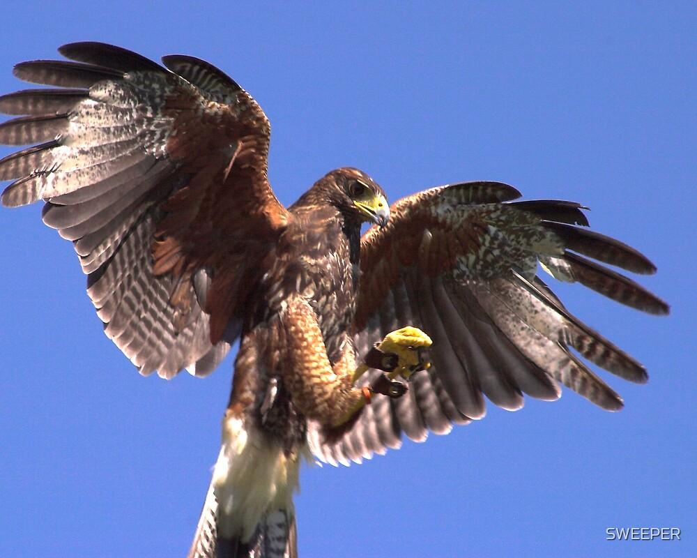 Harris Hawk by SWEEPER