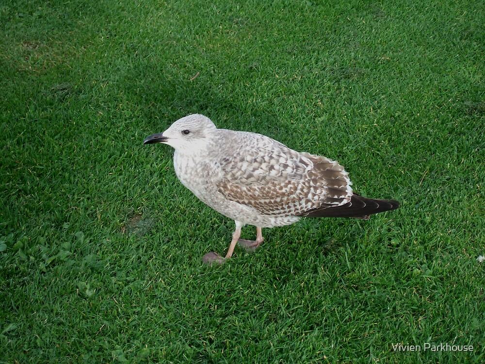 Herring Gull (nee Seagull) by Vivien Parkhouse