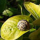 Snail on a leaf by Matt Dawdy