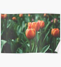 Orange tulip field Poster