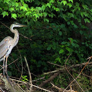 Blue Heron by RickWalker