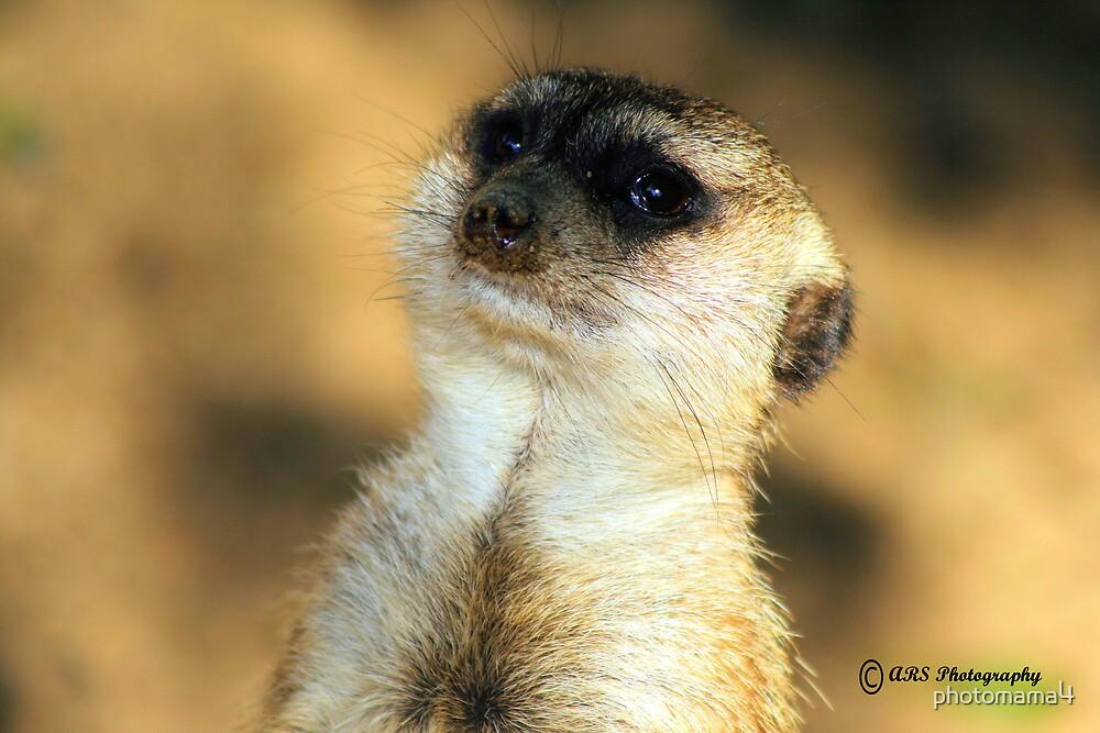 Meerkat by photomama4