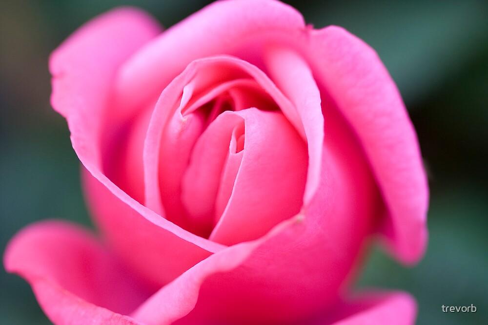 Mums Rose. by trevorb