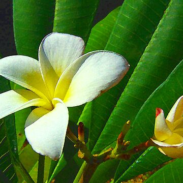 Plumeria obtusa by RickWalker