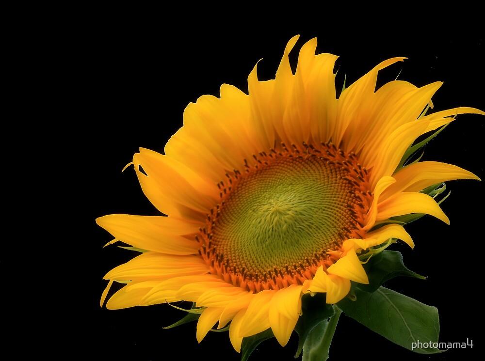 Sunflower Black Background by photomama4