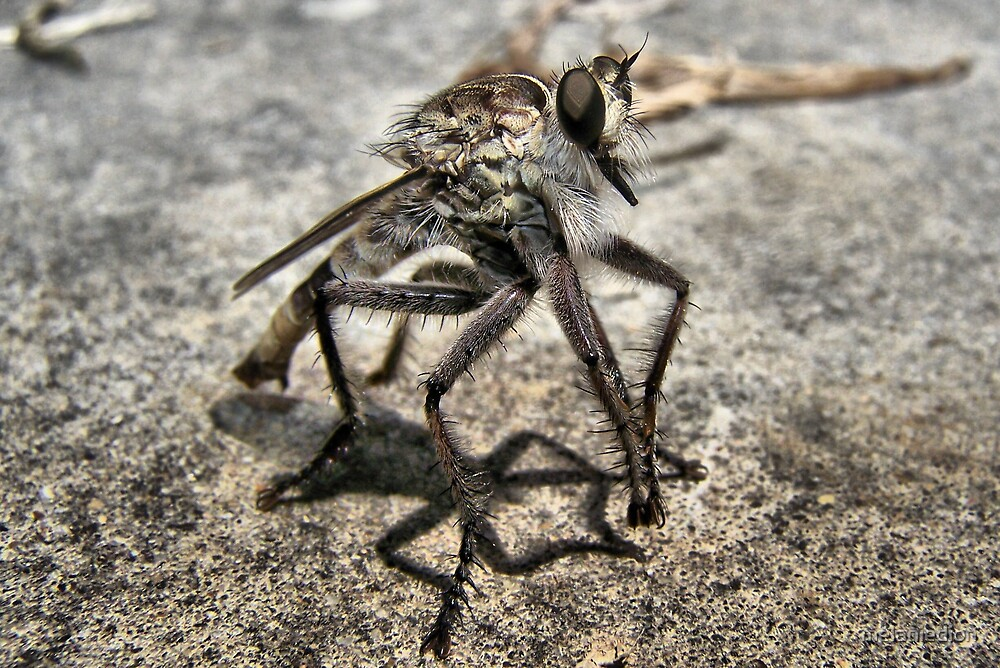 Robber Fly by melaniedion