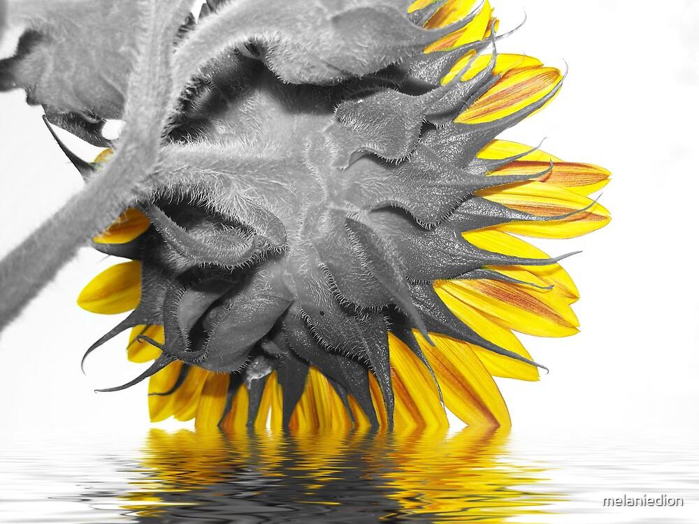 Flooded Sunflower by melaniedion